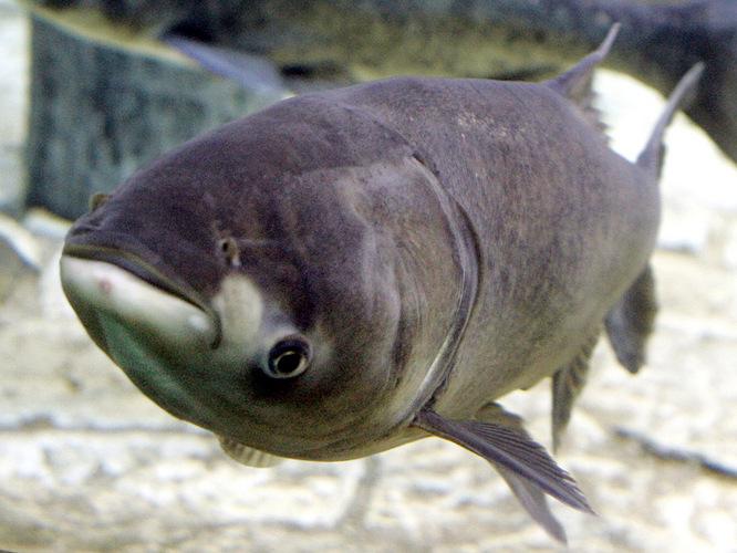 рыба толстолоб